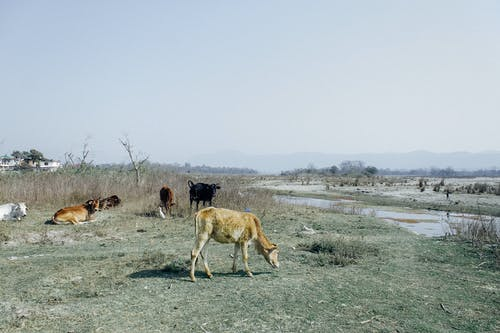 Poor cattle grazing on pasture near small lake