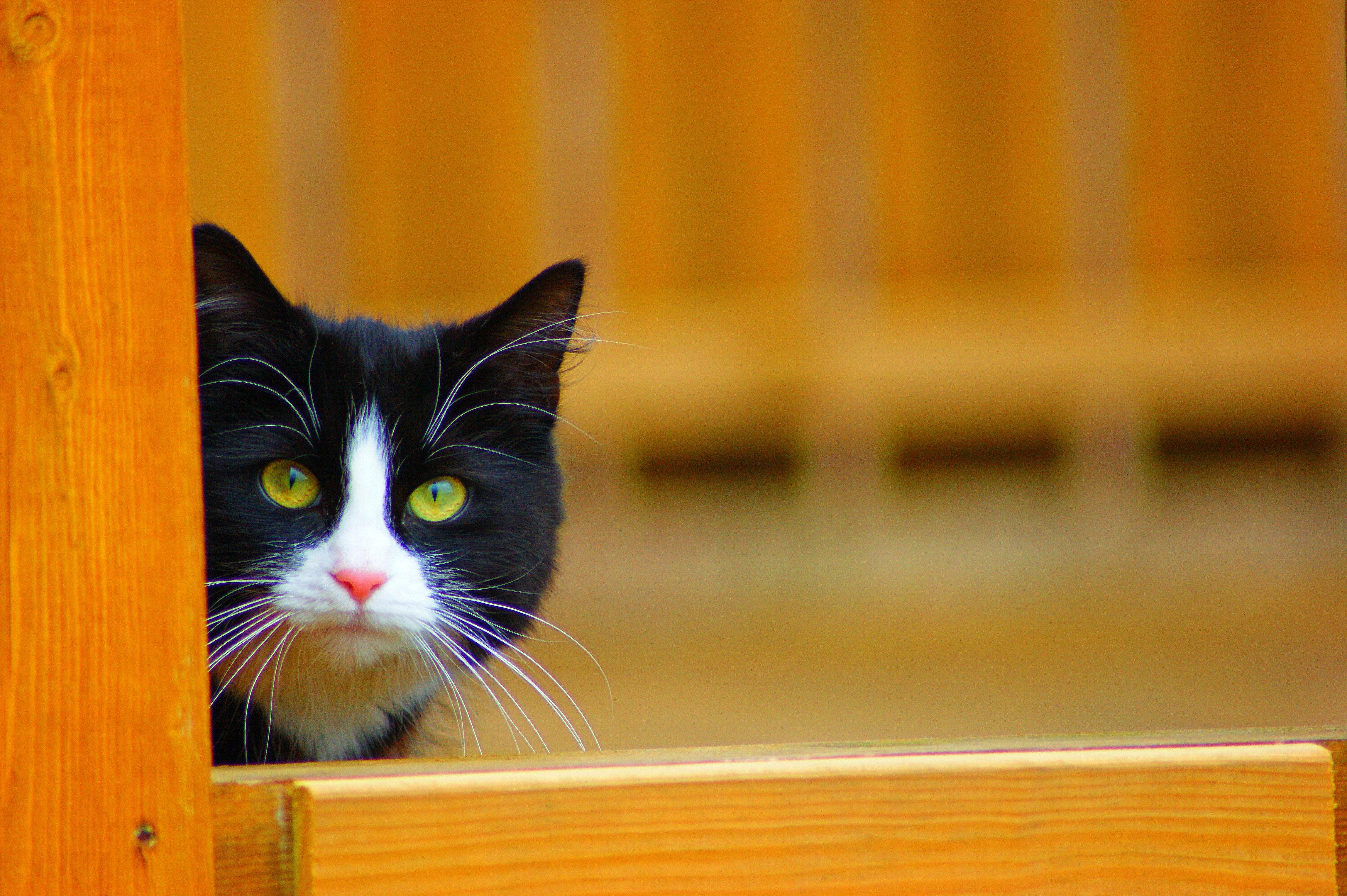 Kostenloses Foto Zum Thema Norwegische Waldkatze