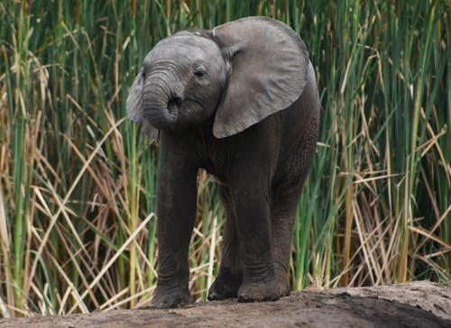 Grey Elephant Standing on the Soil