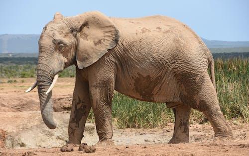Brown Elephant Walking on Brown Sand