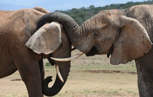 Big Brown Elephants Fighting
