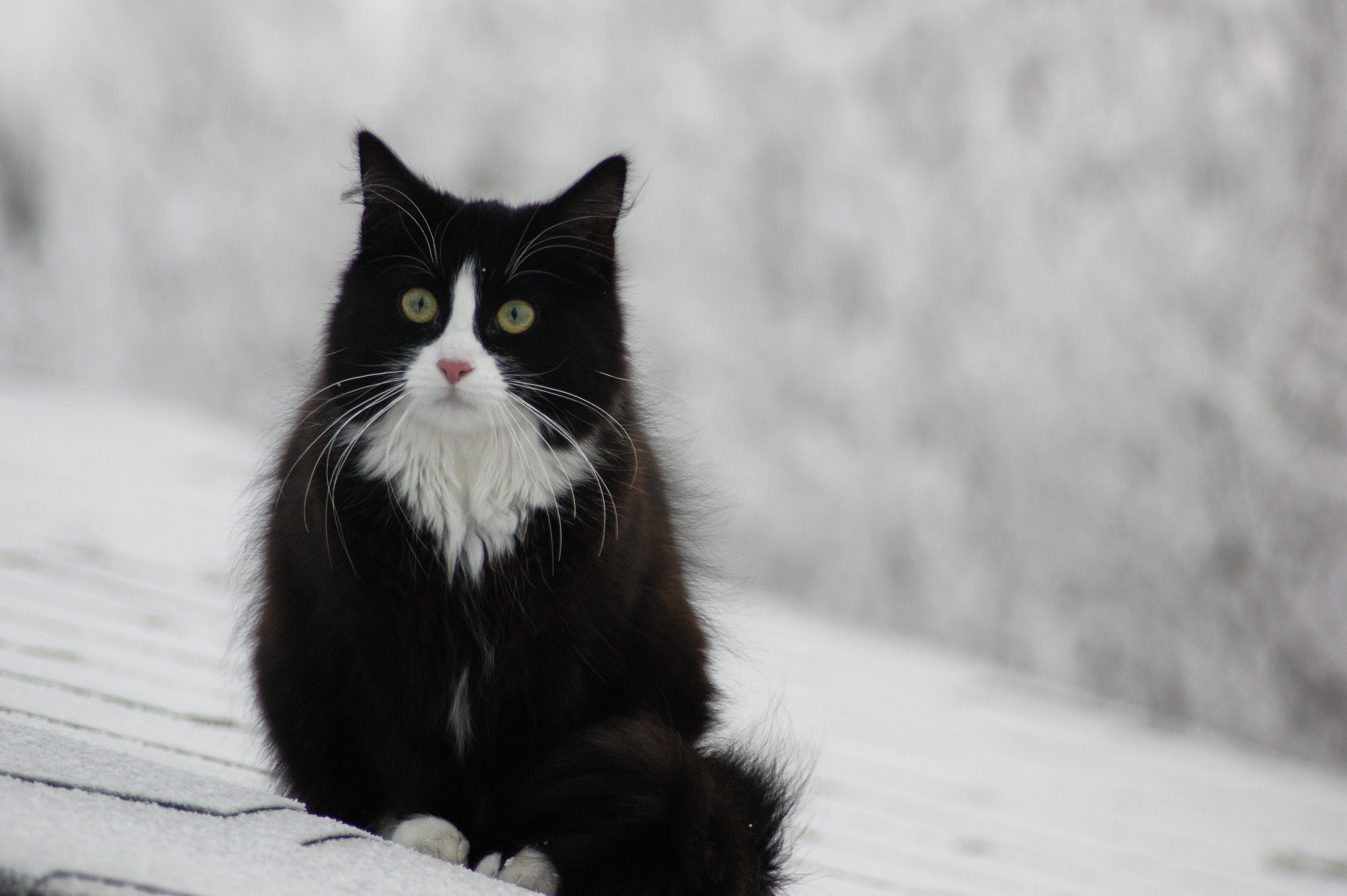 Foto Stok Gratis Tentang Kucing Hutan Norwegia