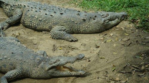 Crocodile on Brown Sand