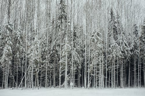 Tall coniferous trees covered with cold snow in frosty weather on sunny winter day