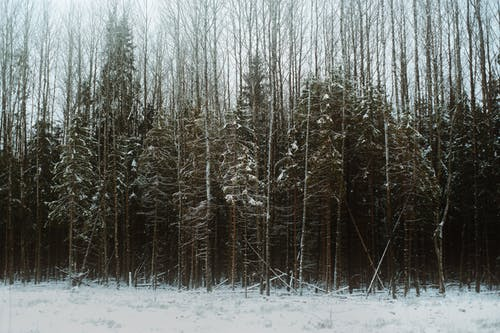 Winter forest with evergreen and leafless trees