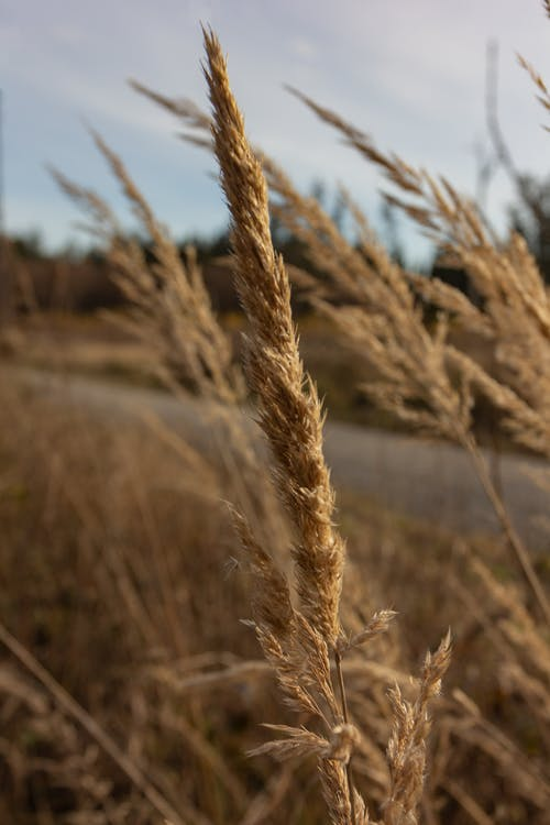 Thin stem with rye cultivated in field of countryside under cloudy sky on blurred background