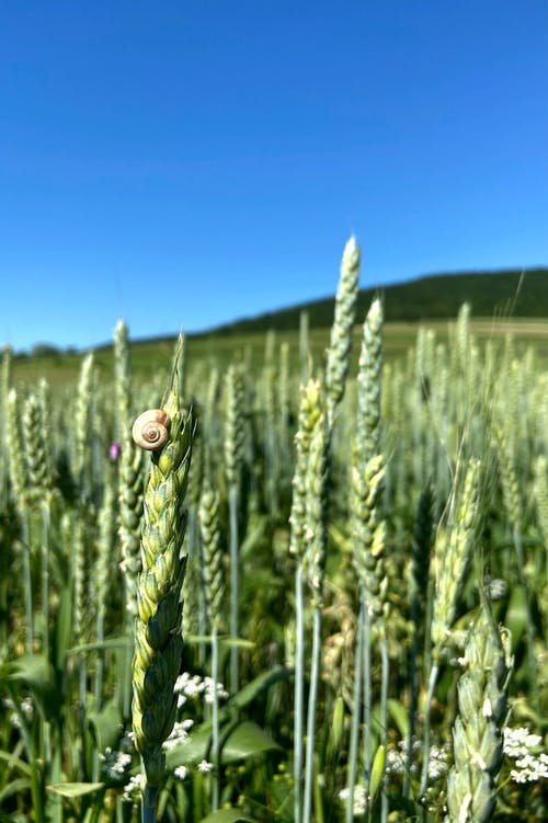 Small snail crawling on cereal plant growing in green field in farm under blue sky