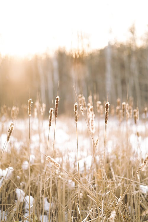 Blurred wheat field in flakes in bright sunlight on background of forest in snowy winter