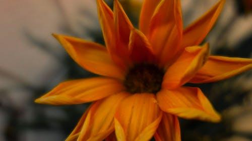 Foto d'estoc gratuïta de flor, profunditat de camp, taronja