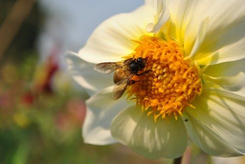 Základová fotografie zdarma na téma květiny, včela, žlutá kytka