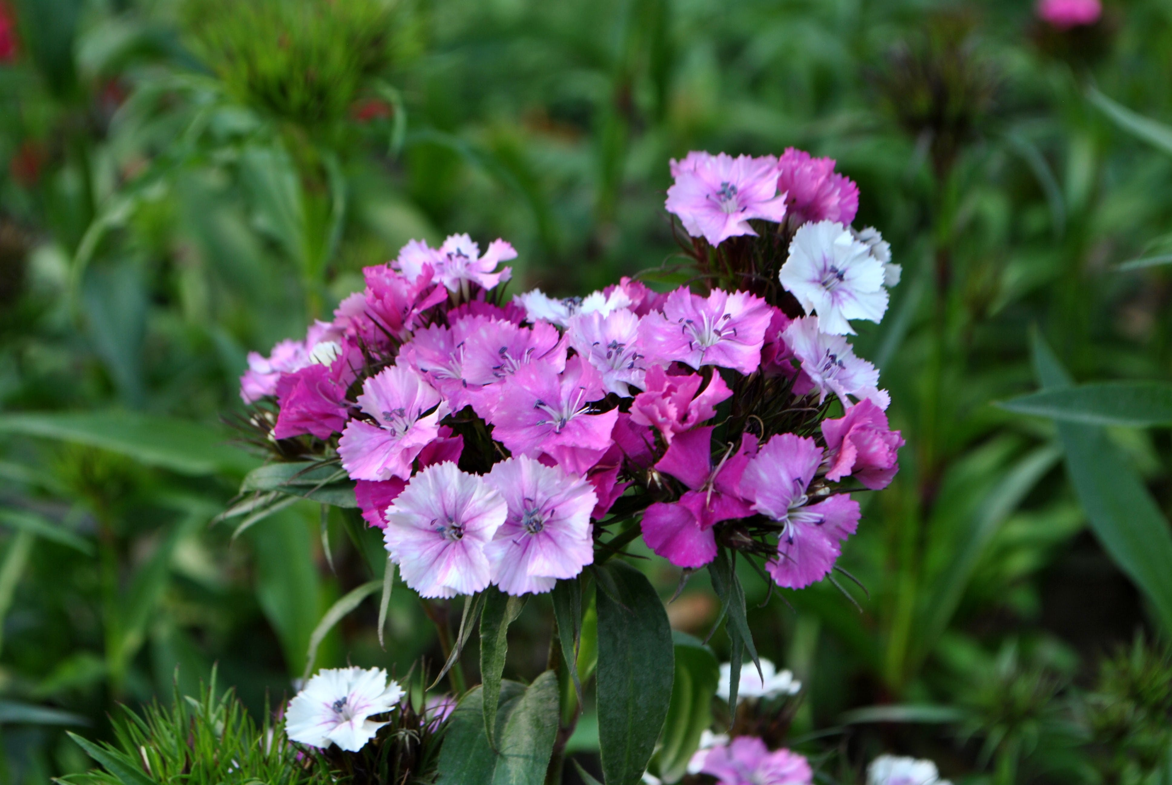 Shallow Focus of Pink Flowers