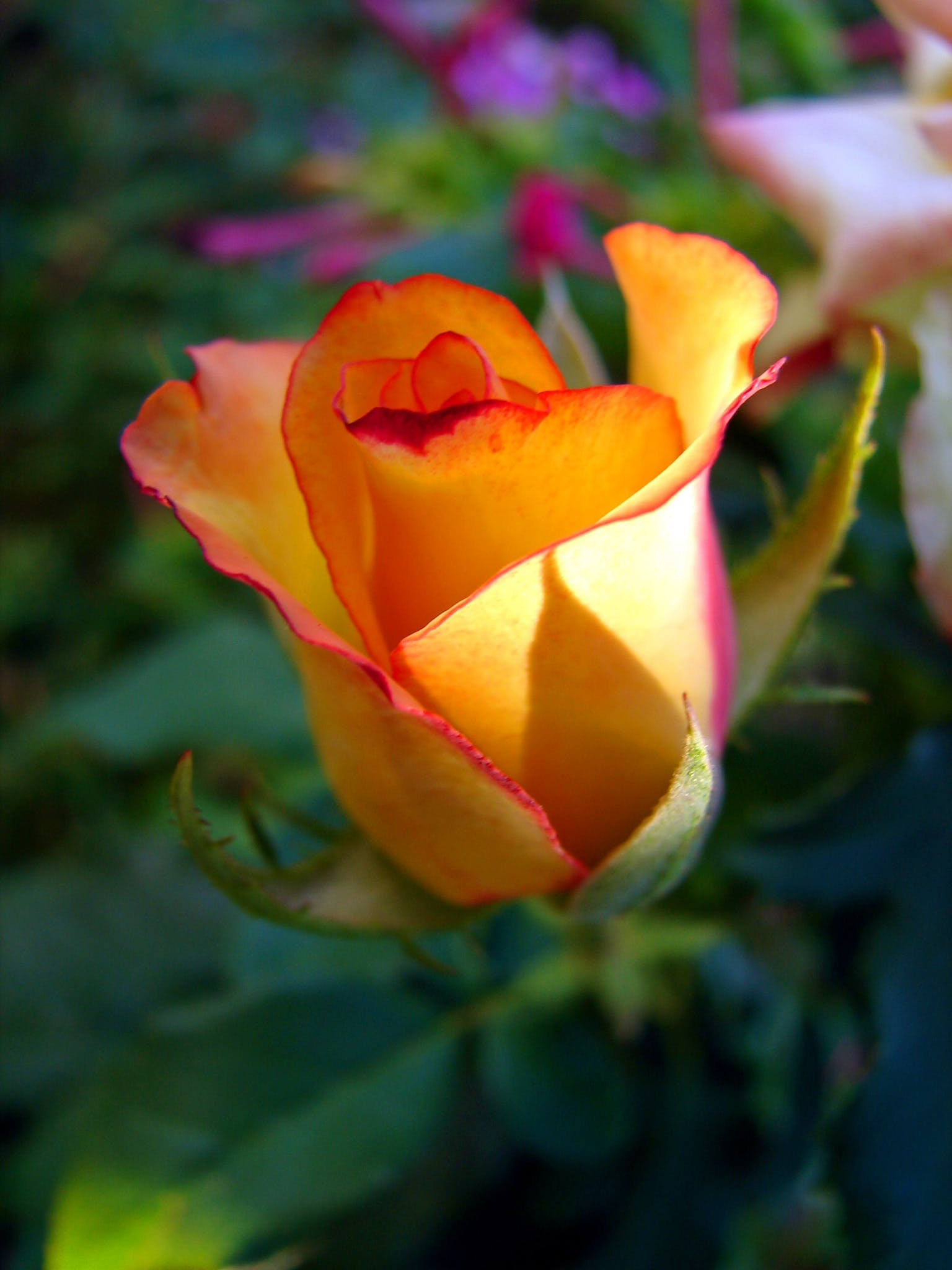 Close-up Photography of Yellow and Red Rose