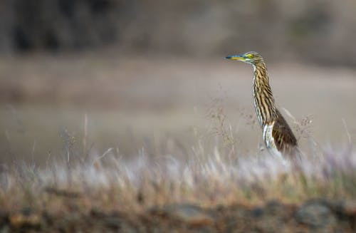 Soft focus of wading heron with long neck long beak and brown wings standing on grassy ground in wild nature