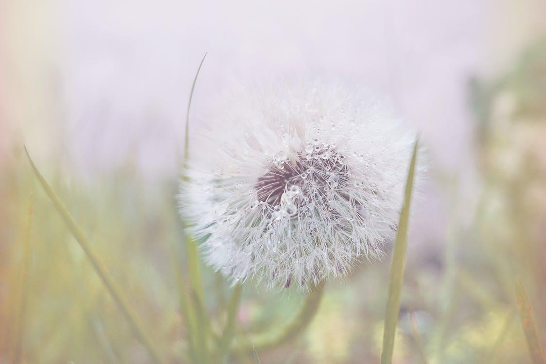 Beyaz Karahindiba çiçeği