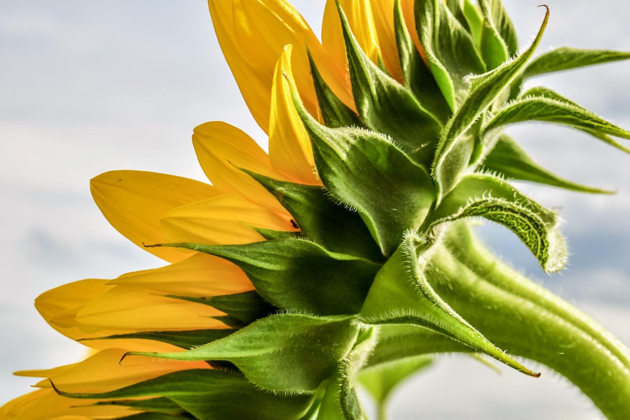 Free stock photo of flower, plant, sunflower