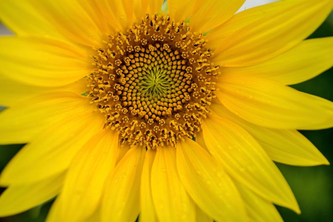Free stock photo of flower, golden yellow, macro