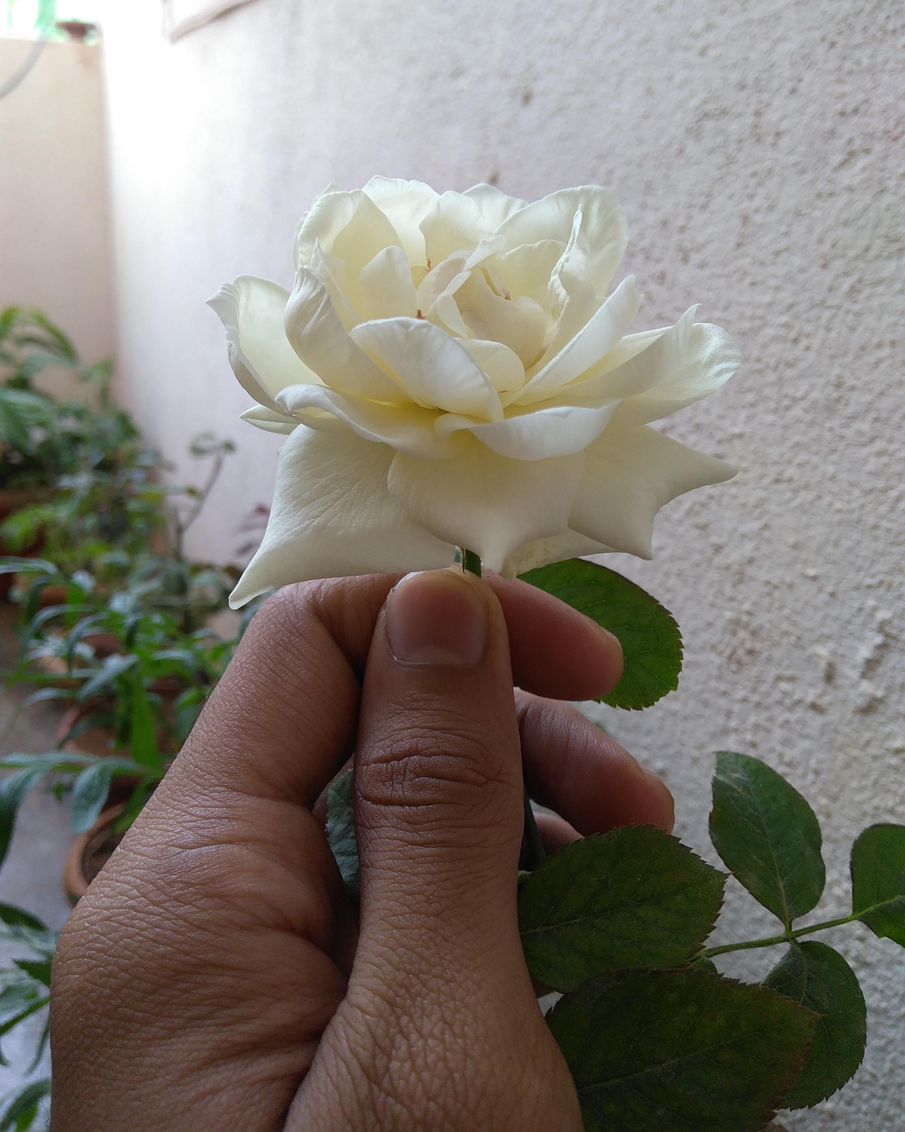 Free Stock Photo Of Flower White Rose