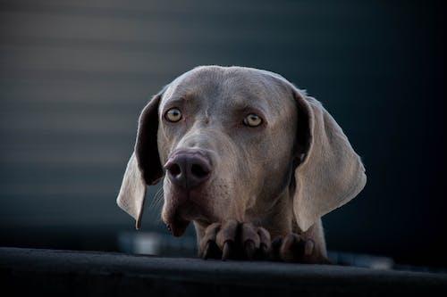 Attentive Weimaraner dog looking away