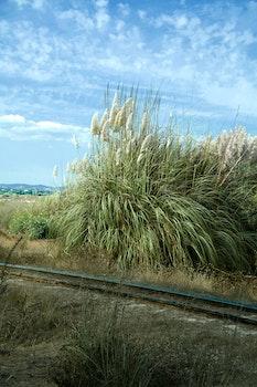 Free stock photo of sunny, rush, rail, bulrush