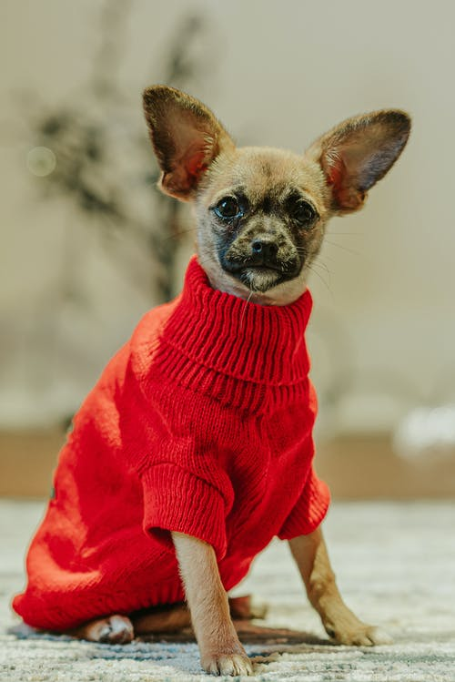 Adorable chihuahua wearing clothes in flat