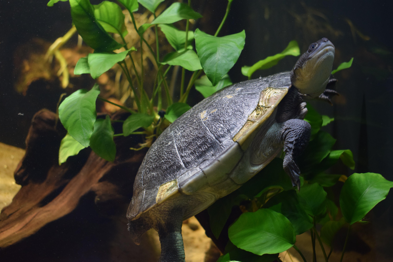 Free stock photo of animal, nikon d3300, sea turtle