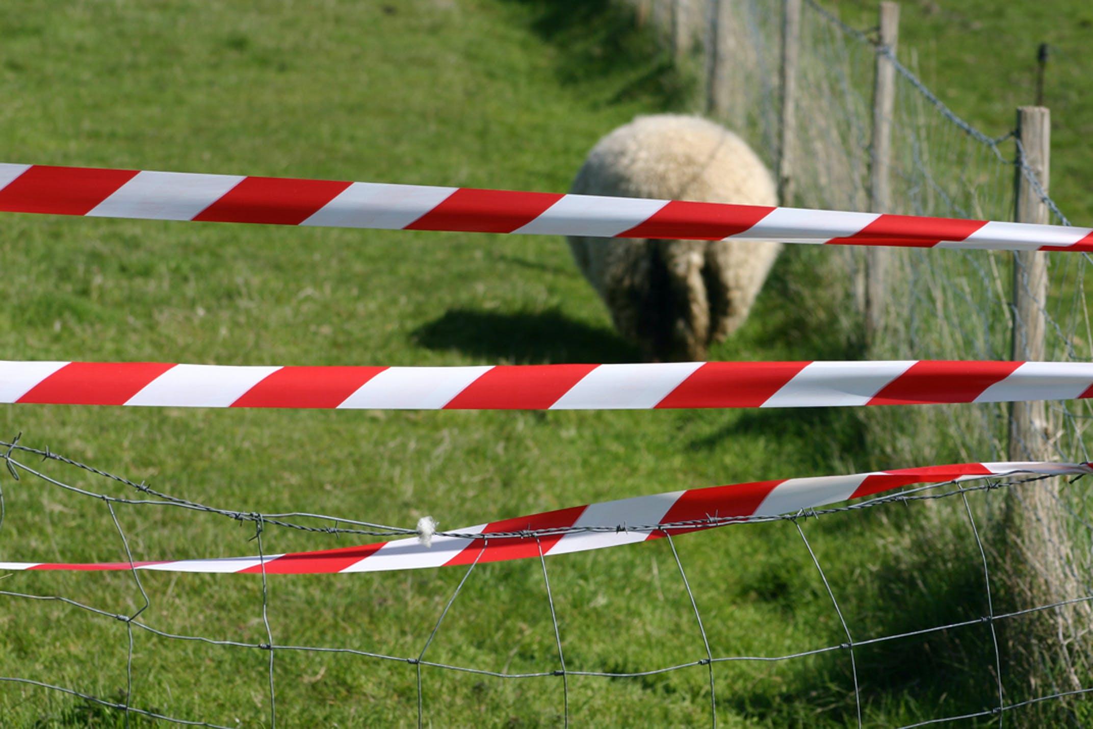Free stock photo of mouton