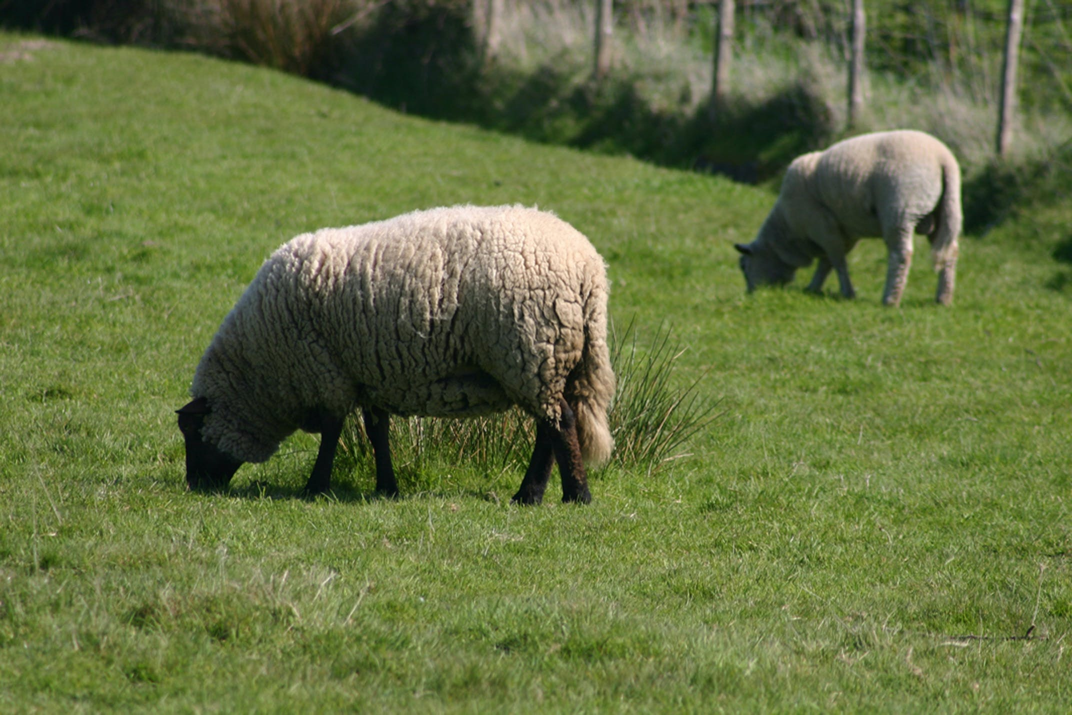 Free stock photo of moutons