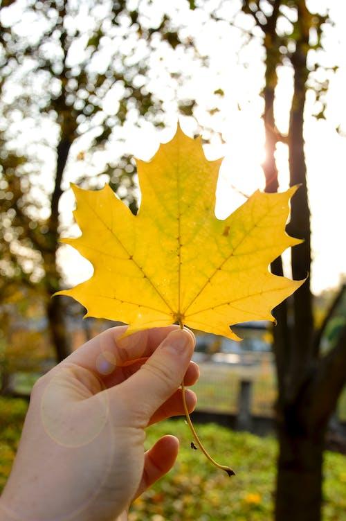 Ảnh lưu trữ miễn phí về ánh sáng mặt trời, atmosfera de outono, cầm lá, cây