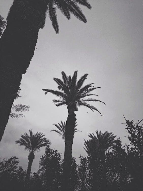 marrakesch, palmen