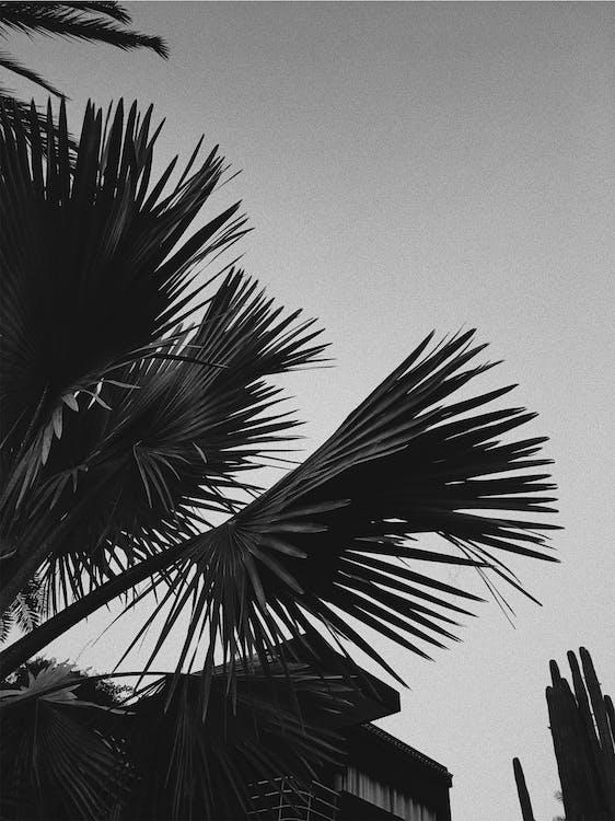 パルム, ヤシの木, 白黒