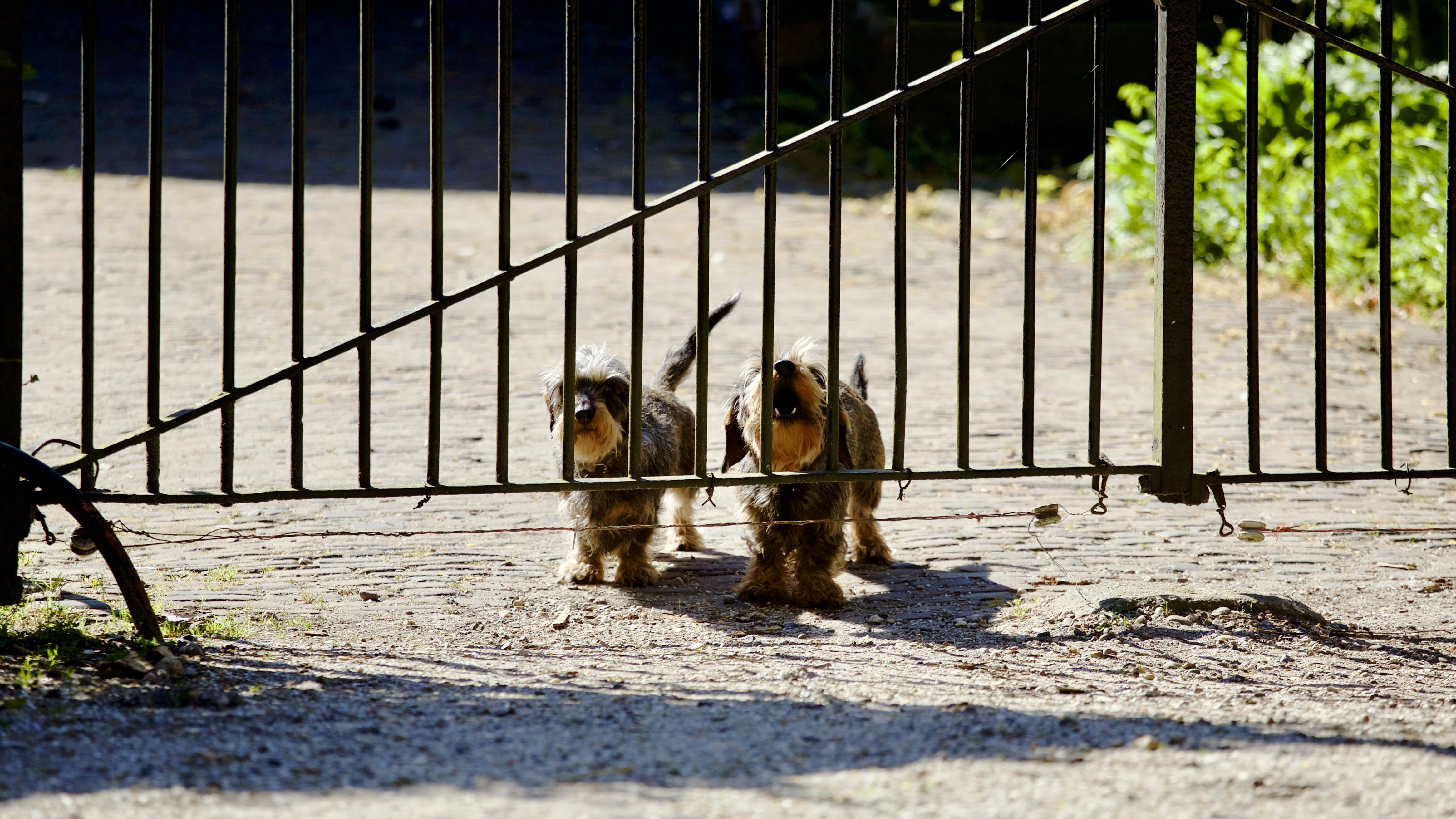 Free stock photo of dogs, gate, two, barking