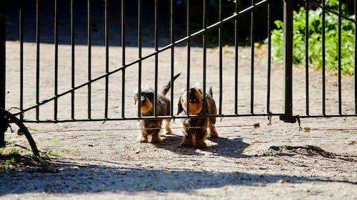 Ingyenes stockfotó kapu, két, két ugató kutya, kutyák témában