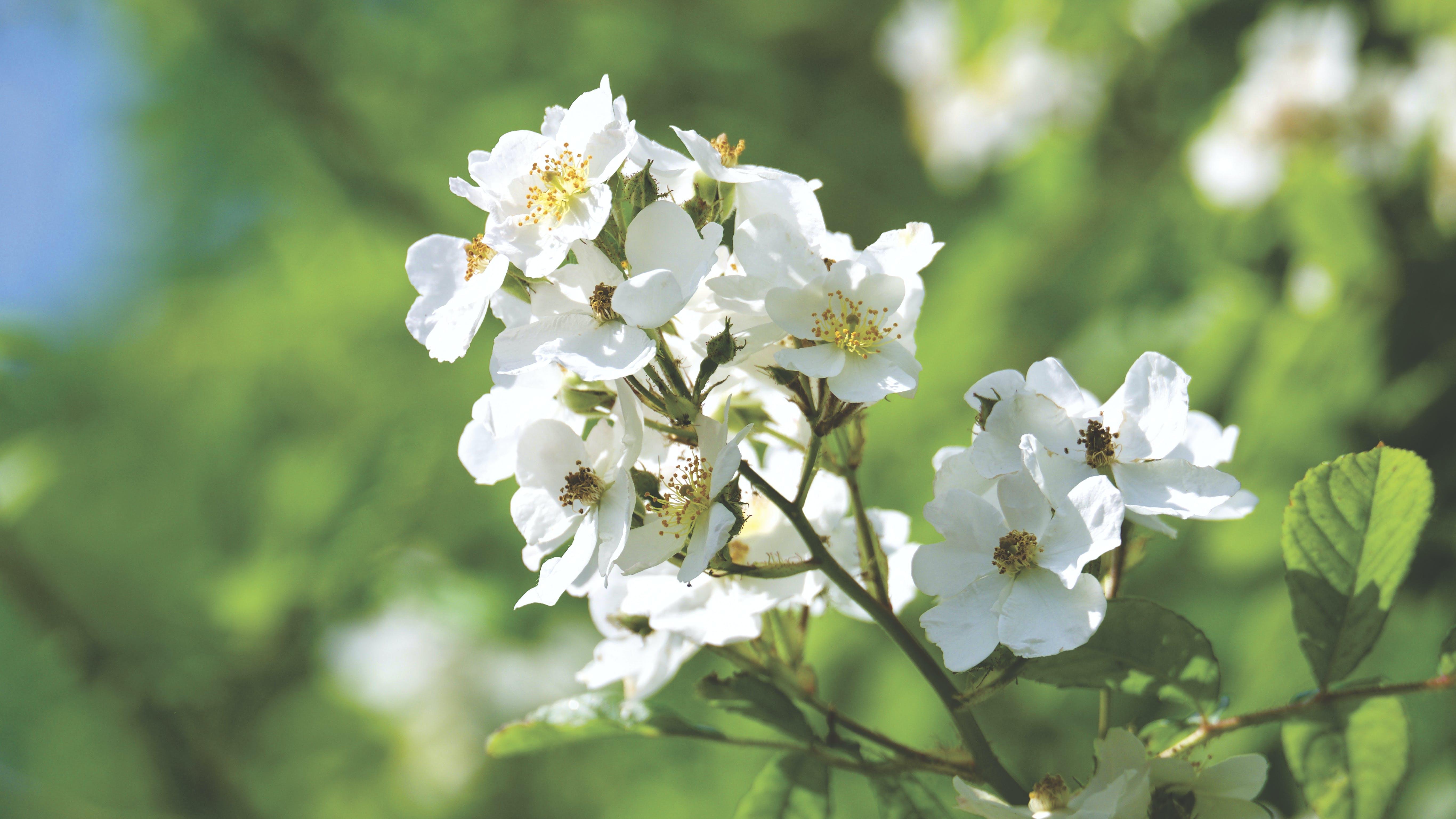 Kostnadsfri bild av blommor, blomning, delikat, flora