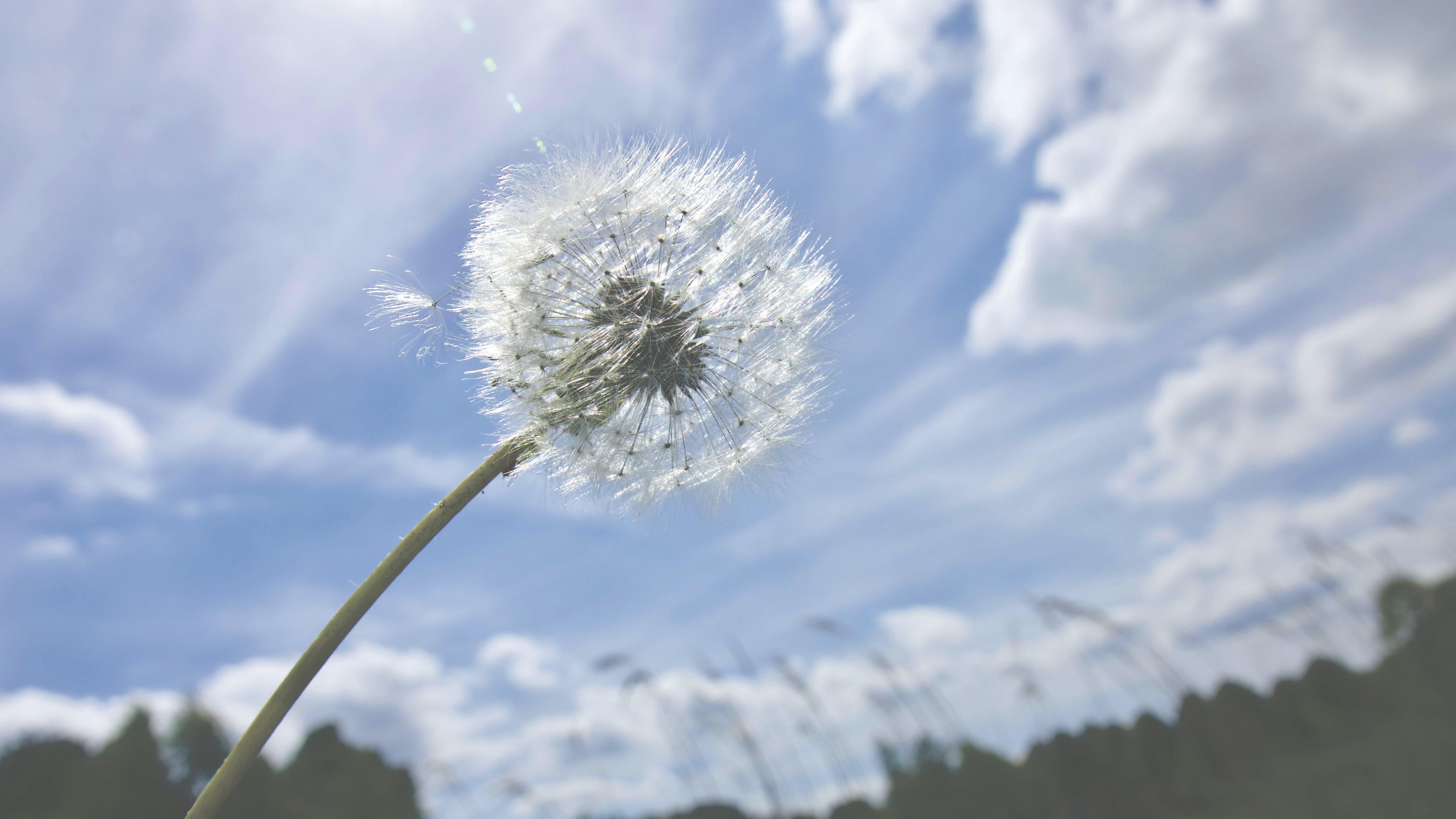 Dandelion Selective-focus Photography