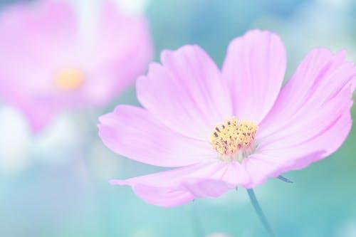 Kostenloses Stock Foto zu blühen, blume, blütenblätter, blütenstaub