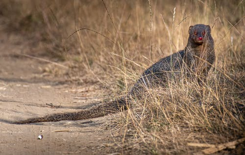 Cute carnivorous mongoose with long fluffy tail and dark fur sitting on roadside near dried grass in wild nature in countryside