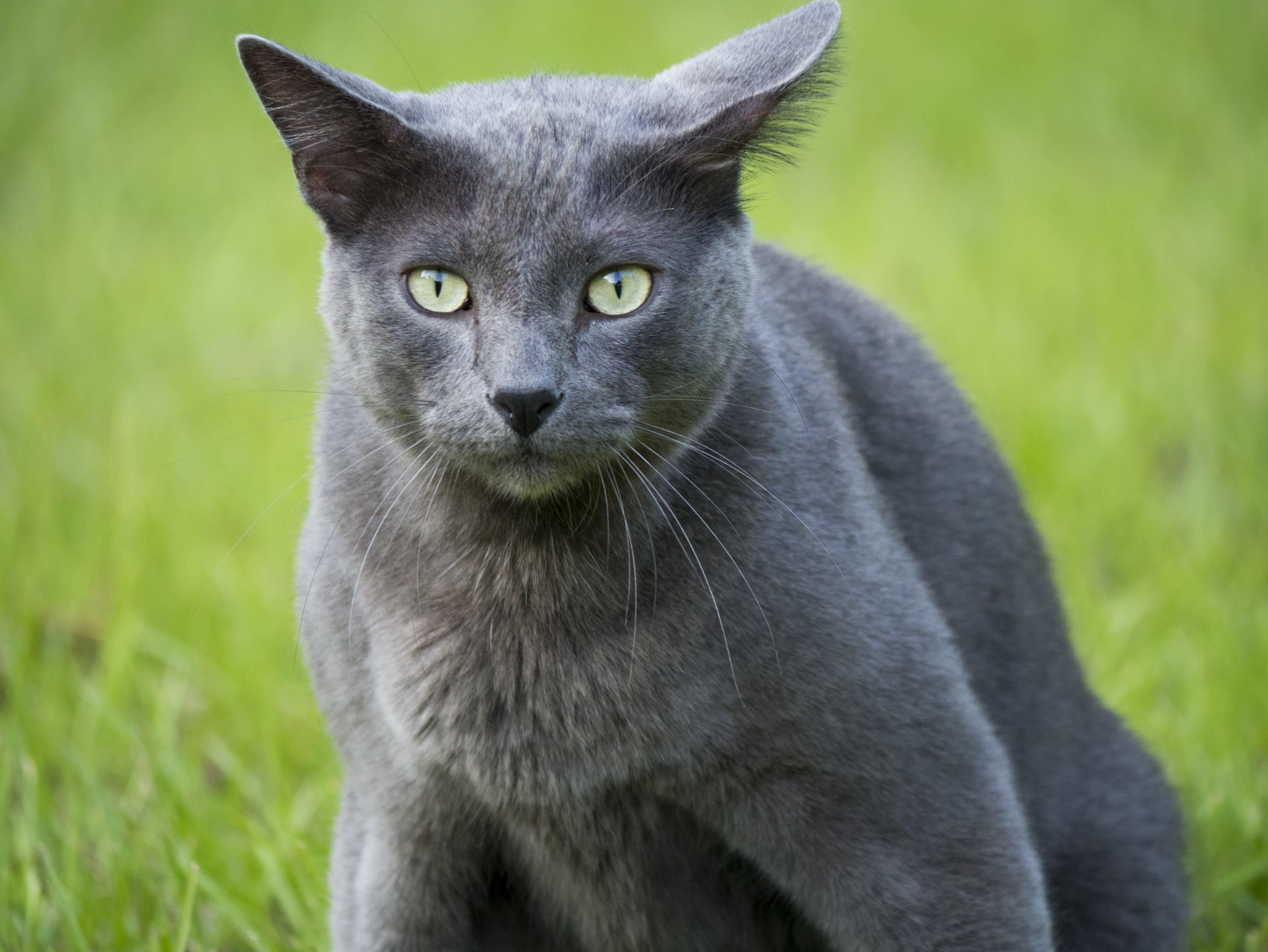 Gratis stockfoto met beesten, g85, grijze kat, huisdieren