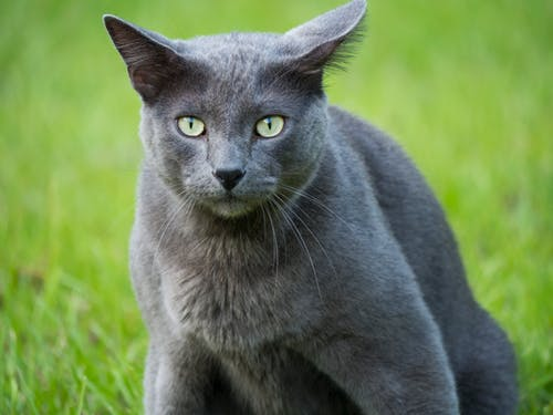 Free stock photo of animals, cat, g85, gray cat