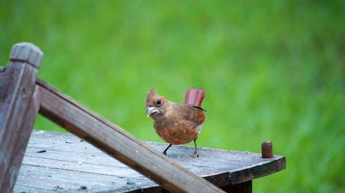Free stock photo of animals, g85, lumix, robin
