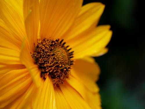 Foto d'estoc gratuïta de flor, groc, natura