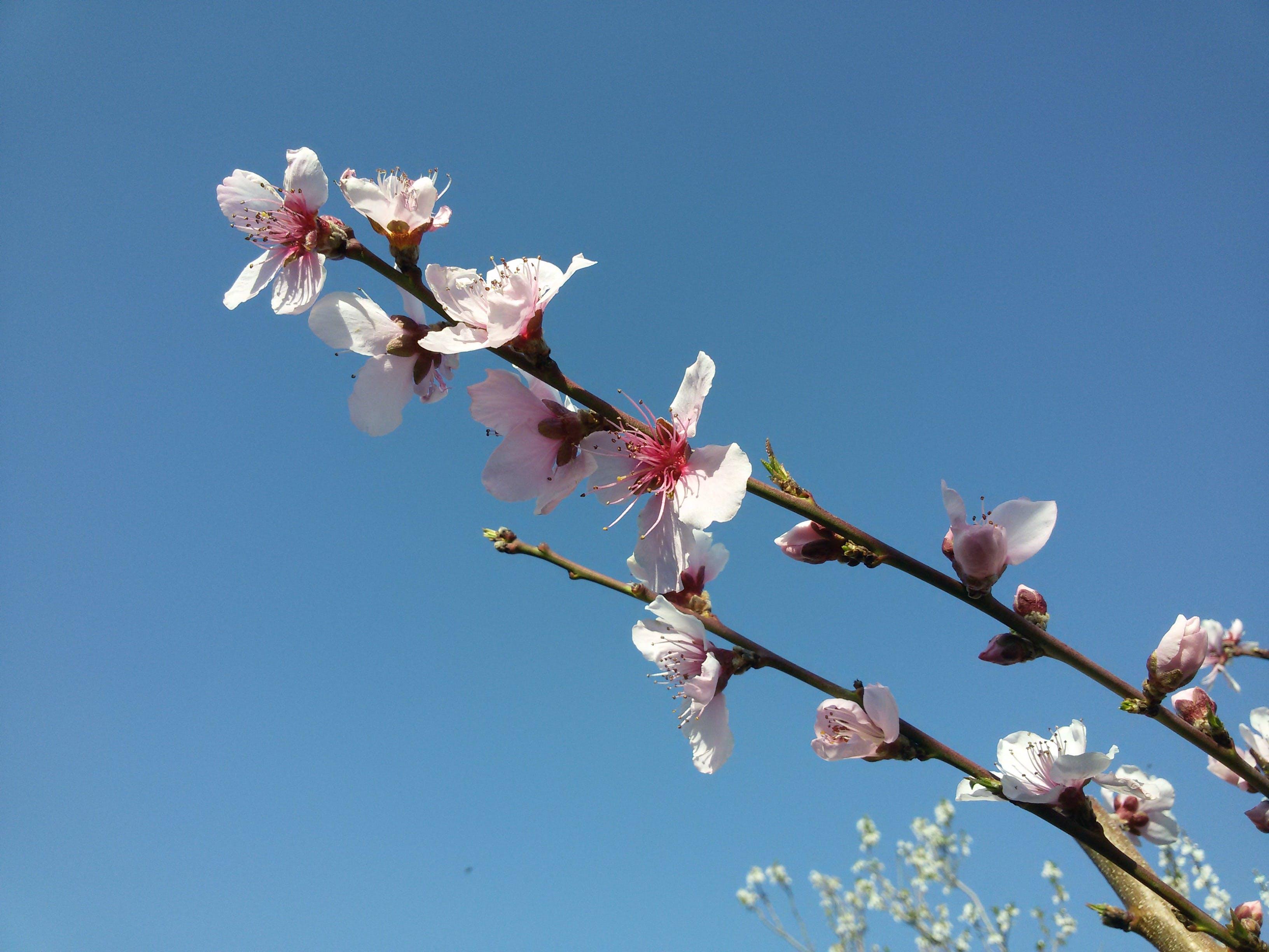 Free stock photo of شکوفه هاب بهاری