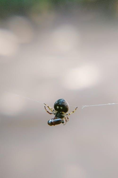 Photos gratuites de animal, araignée, araignée sauteuse, arrière-plan flou