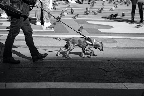 Black and white side view of anonymous person in casual outfit walking with obedient dog on leash on walkway on square near people and pigeons on street in town