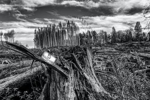 Fotos de stock gratuitas de árbol muerto, árboles altos, árboles muertos, blanco y negro
