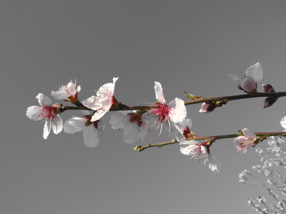 apricot, april, blooming