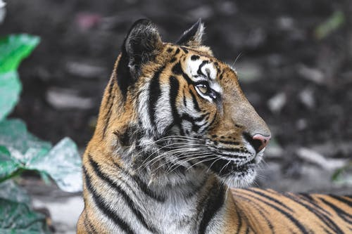 Young attentive tiger with brown striped fur lying in natural sanctuary and looking away