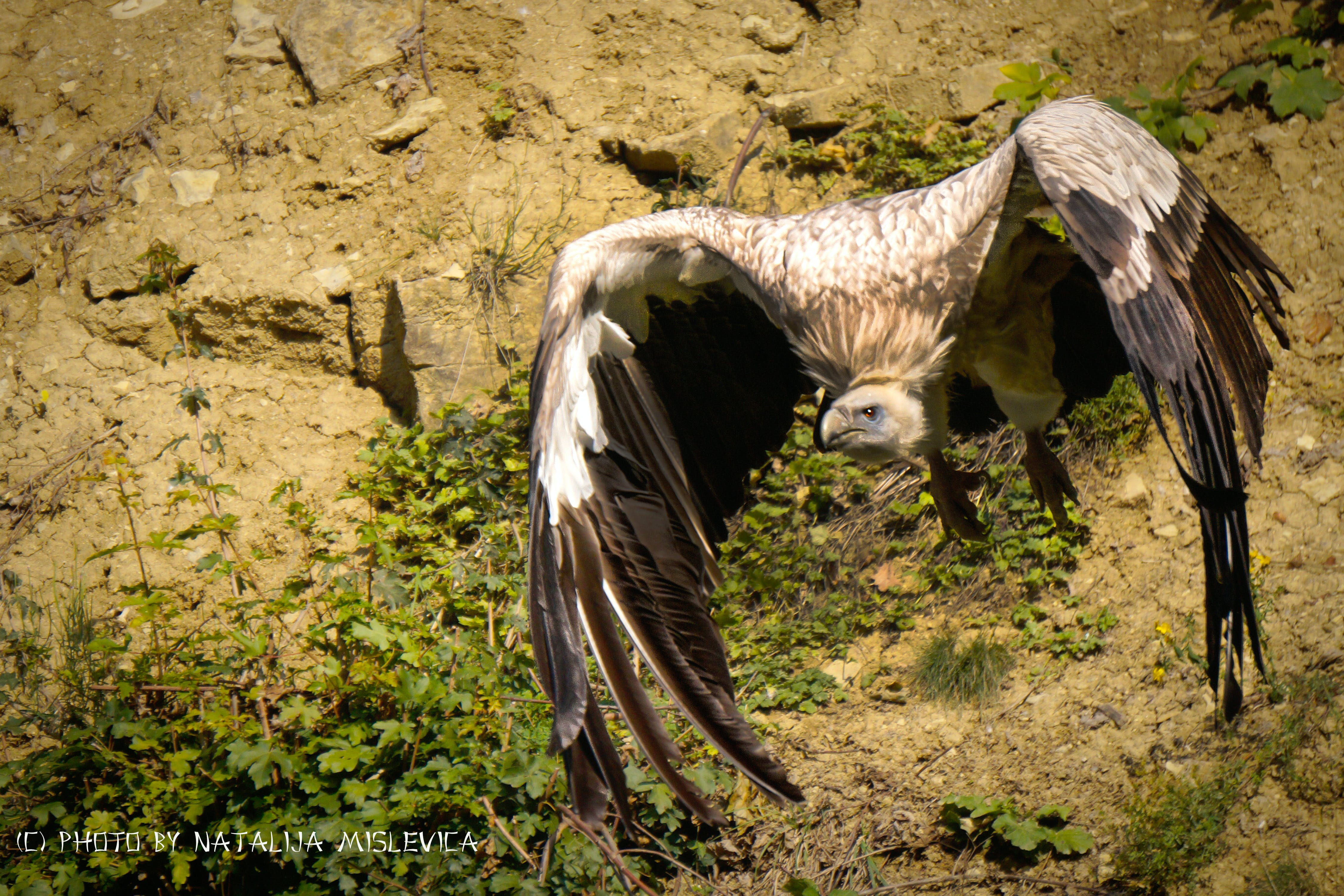 Free stock photo of adler, beak, bird, cliff