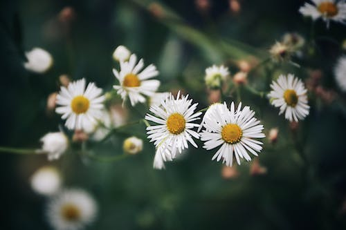 Free stock photo of beautiful flowers, daisies, daisy