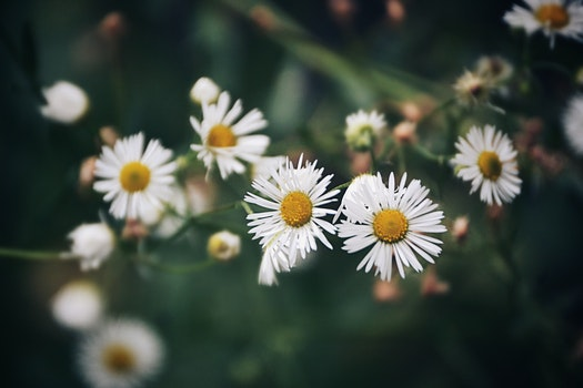 Free stock photo of nature, flowers, flora, daisies