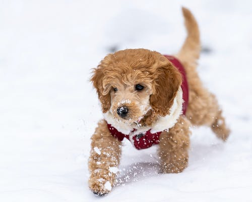 Cute fluffy little dog Goldendoodle wearing warm clothes walking on snowy ground in winter day